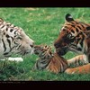 tigre68260