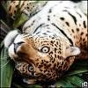 El-Jaguar-Italien