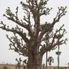 baobab2004