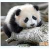 panda-dream