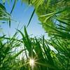 herbe--tendre