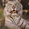 tiger-gos