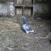 mon-pigeon-du80