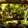 z-vert-mangue