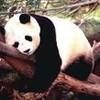 panda-joufflu