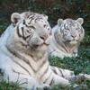 tigresse-kung-fu