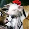 Passion-de-tigres