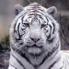 Ma-passion-les-tigres