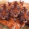 tigresse-408