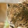 jaguard68
