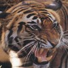 tiger539