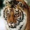 tigerman84