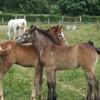 P-aradis-des-poneys