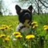 un-amour-de-bulldog