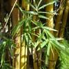 bambou-life