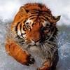 tigre-tiger