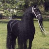 frisonhorsedu46