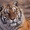 tigre-felin15