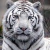 tigergirl08