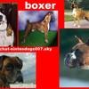 boxer-chien