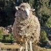 Moutonne-du-BZH