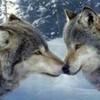 les-louves