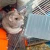race--de--hamster