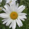 harrissonflower