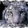 tigre-04