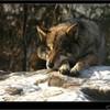 les-loups-infos