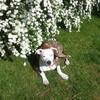 layka-amstaff-canine