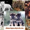 chiens-tigres