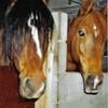 dreamhorses