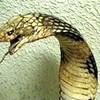 cobra-ifk02