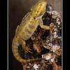 pogona-reptile62