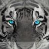 tiger67200