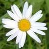 daisybeach