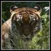 x-lolo-tigresses-x