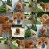 theworld-of-chowchow