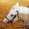 shy-horse
