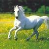 cheval-stardu89