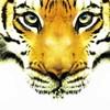 tiger-kiss