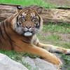 tigremen3