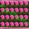 pink-black64
