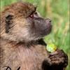 babooncoquine