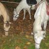 Aurensan-cheval