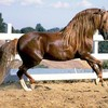 cheval0