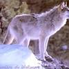 xX-the-wolf-974Xx