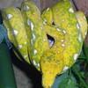 Snakefalco