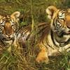tigre046